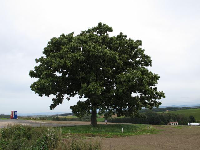 120928_セブンスターの木