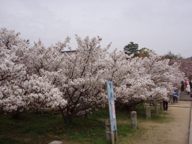060419_御室桜3